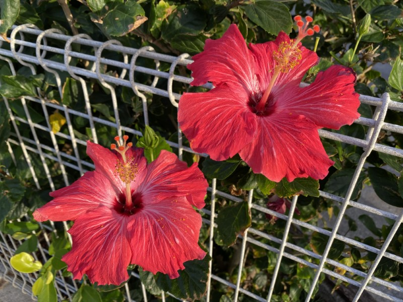 2月の沖縄本島の平均気温は15~17度、最高気温は20度と、概ね東京の秋口程度の気温。ハイビスカスが咲いている姿もあちこちで見かける