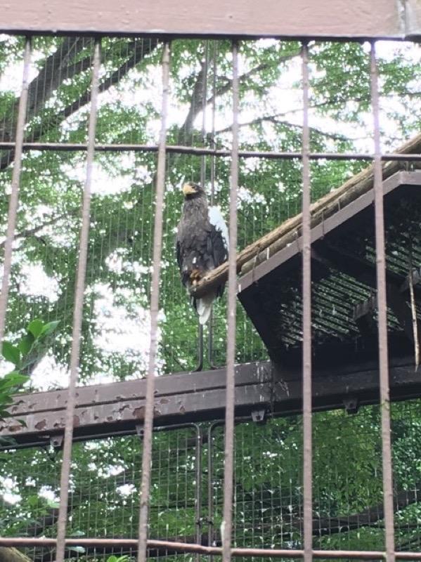 入場口から一番近いところにある猛禽舎にいたのはオオワシ! ジュウオウジャーでも主役なので娘もカッコいいね! と大興奮。でもちょっと鳥は苦手らしい