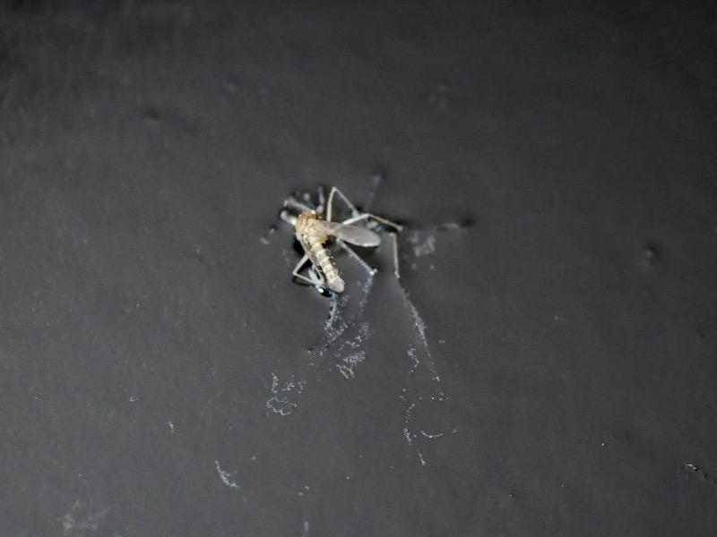 蚊らしき虫