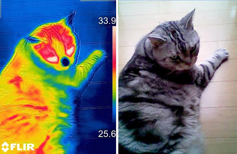 猫って目やその上の温度が高く、鼻や耳先の温度が低いんですね~