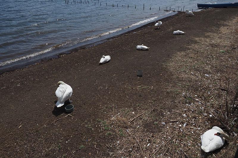 山中湖名物……ていうか名鳥の白鳥。白鳥のたまり場があるんです