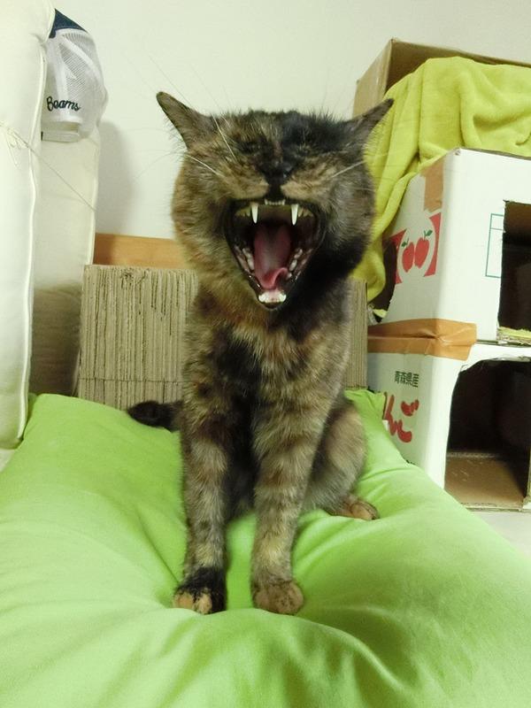 見事な猫あくび