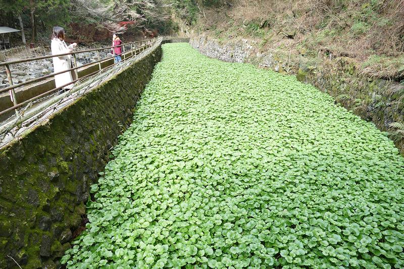 浄蓮の滝の冷たい水で栽培される大量のわさび