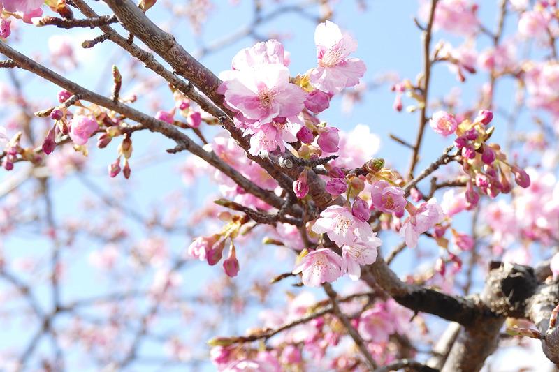 浄蓮の滝周辺でも桜が開花