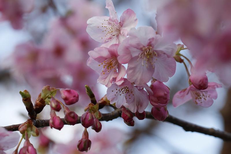 訪れたのが2月中旬だったので満開とはいきませんでしたが、美しい河津桜を堪能