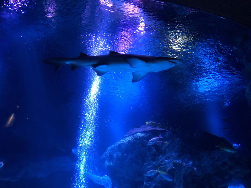 悠然と泳ぐサメさん