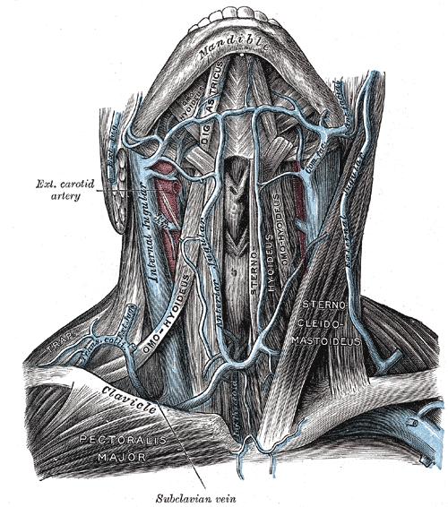頭を天に向けて前から見たところ。青が静脈、赤が動脈(出典:Henry Gray (1918年) Anatomy of the Human Body;Public Domain)