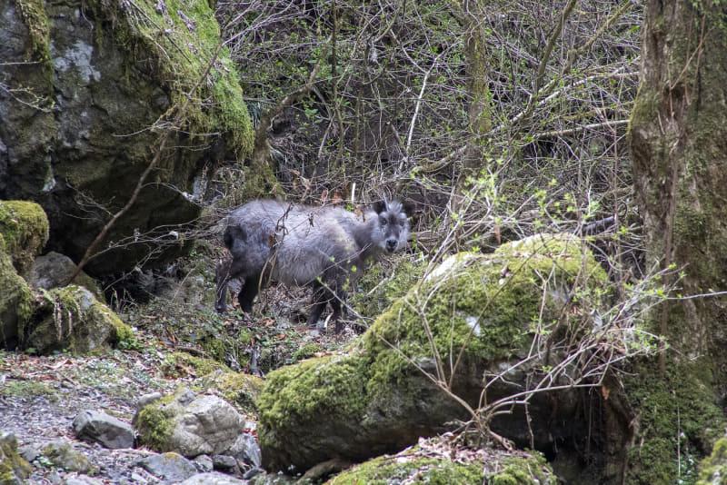 大滝への行く道に何かいる……と思ったら野生の鹿(カモシカ?)。よく見ると角が生えているので雄鹿のようだ。少し間合いを詰めてみたらこちらを凝視。こわい感じだし退いてくれそうもなかったので、ここから先に進むのは断念した