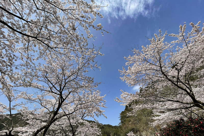 見上げると、桜、桜、桜!!