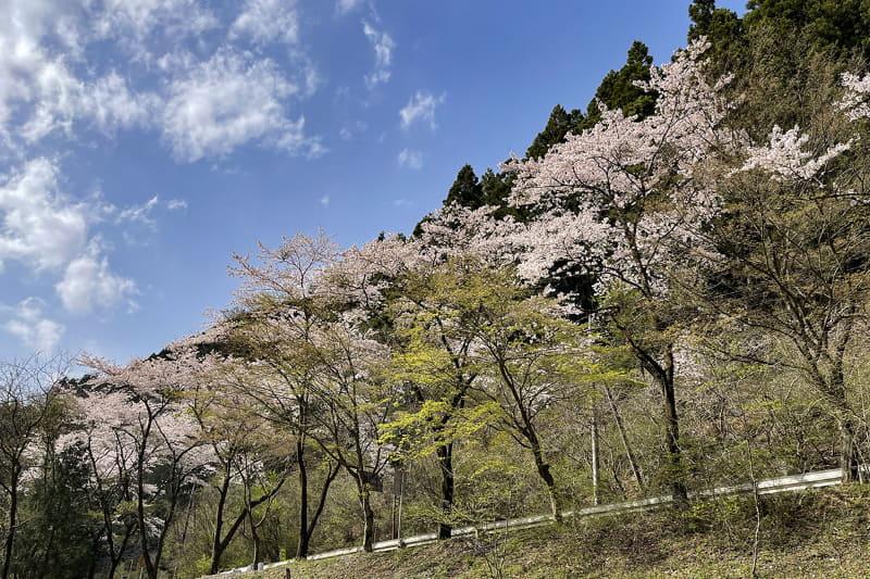 川沿いには桜並木が。にしても誰もイナーイ♪ いるのは筆者とカエルと野鳥くらいかな?