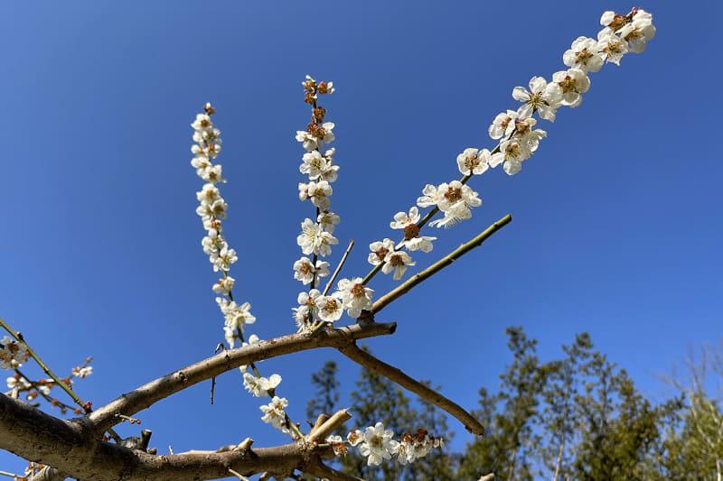 梅の花も咲いている!!
