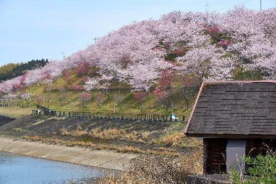 「花より団子コース」で訪れる長柄ダム。春には満開の桜を楽しめる