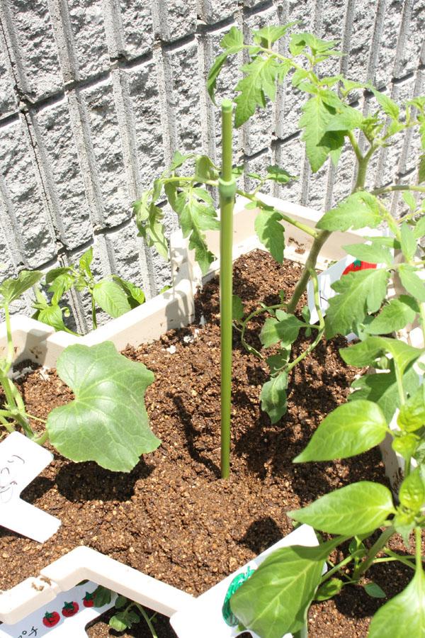 支柱を立て、最後に水をたっぷりやって植え付けは終わり