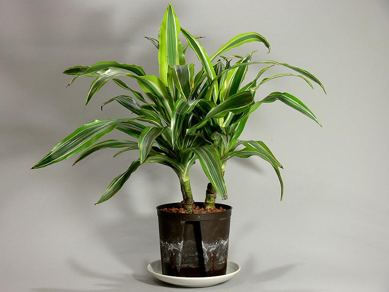 観葉植物は内鉢に直接植えてあるわけではない。別の5号鉢に、ハイドロカルチャー栽培(水耕栽培)の植物が植えてある