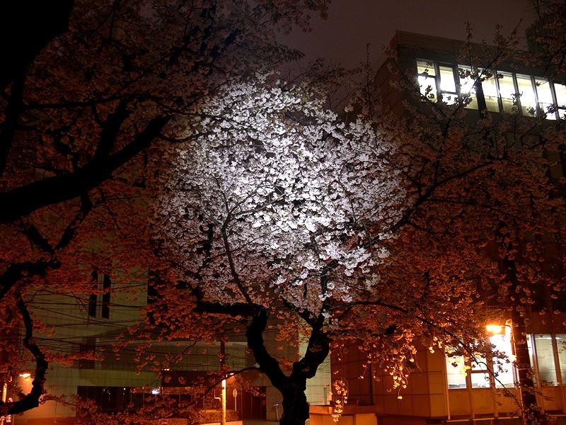 5m先にある桜を照らす。外灯にボンヤリ浮かぶ桜が、色もはっきりわかるほど鮮やかに照らし出された
