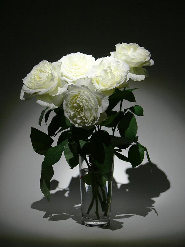 白いバラを閃で照らして撮影。白い花びらの微妙な色の階調もしっかり見える