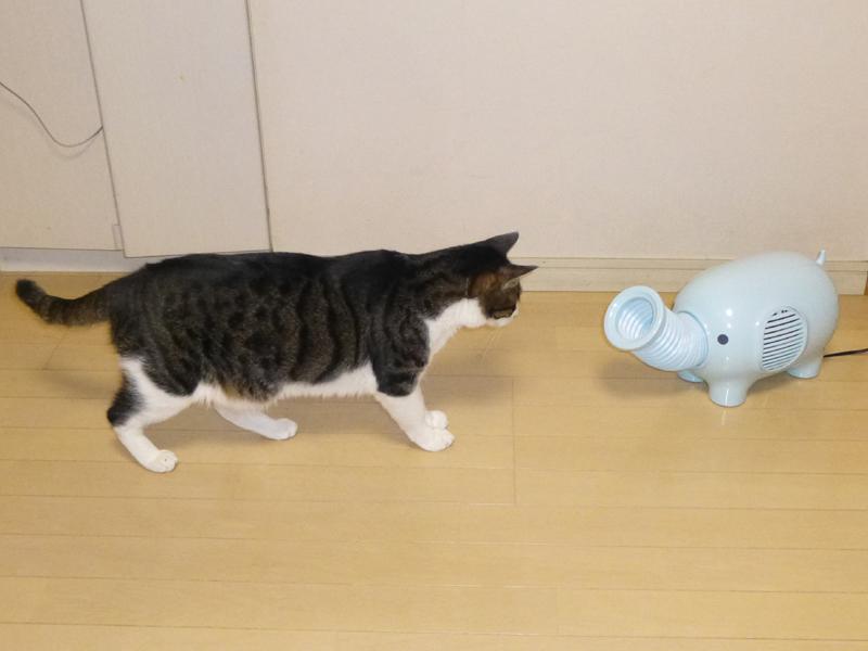 飼い猫の鉄蔵(6歳オス、約5kg)は、ぞうファンを怪しんで近寄って来た。やはり、動物っぽく見えるらしい