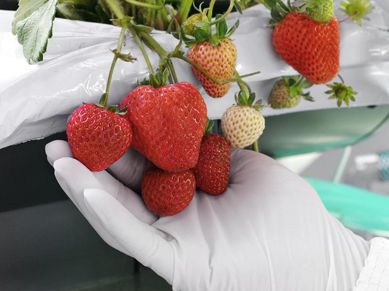 シャープ堺工場内に設置された実験コンテナで成長したイチゴ