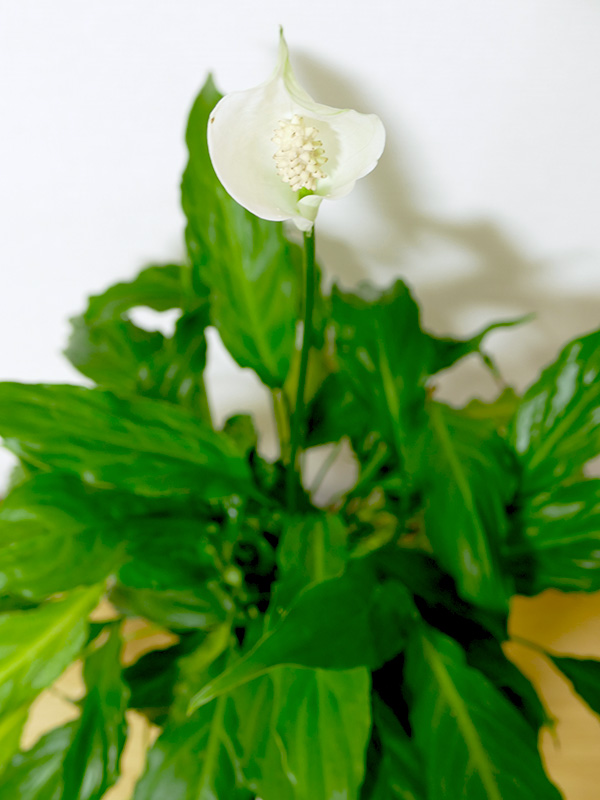 フラワー・パワーで管理して、ピースリリーは今年も無事に花が咲きました