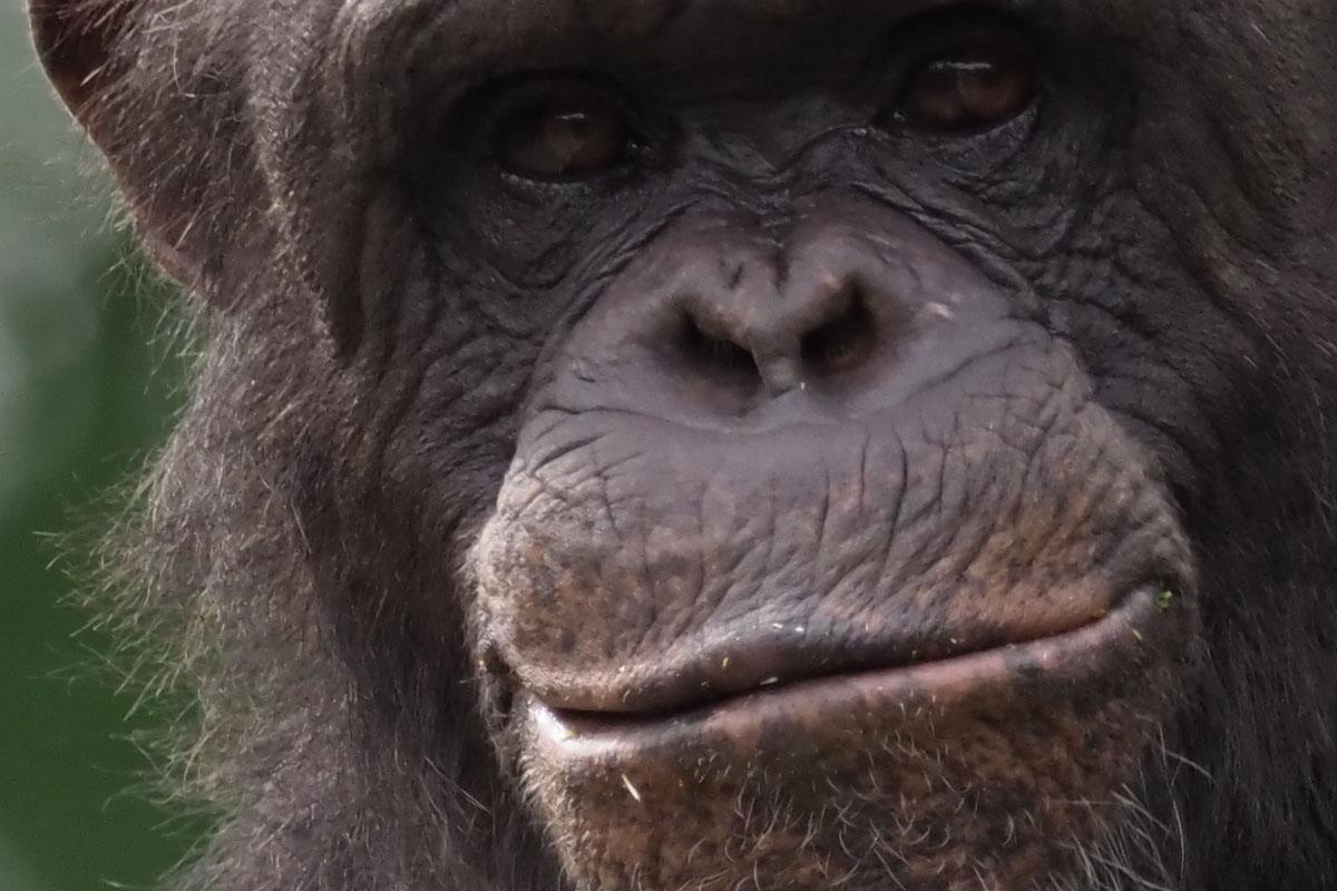 チンパンジー。表情豊かです。シャッター速度は1/400秒。なるほど、超望遠、この視野は楽しいですネ♪