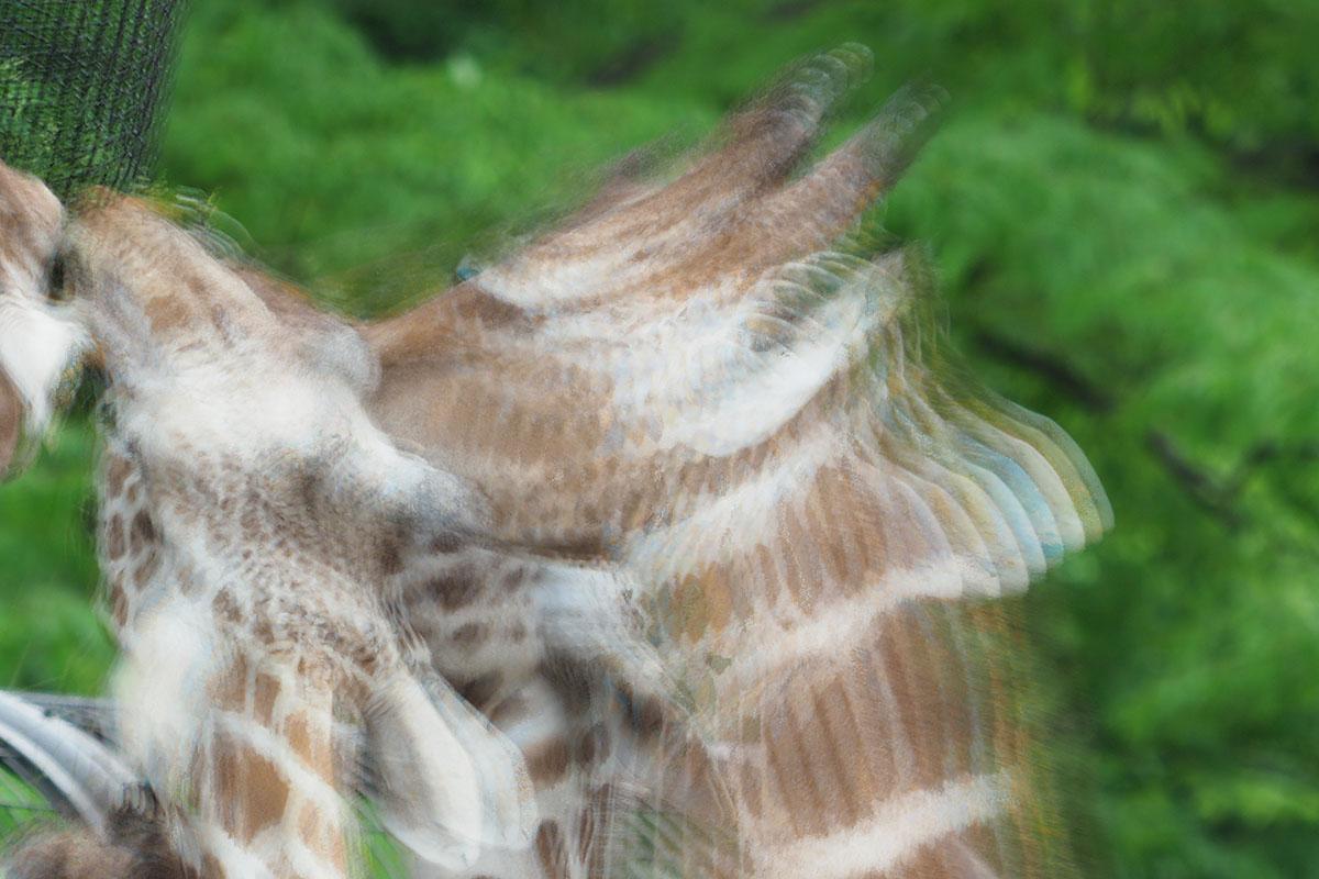 こちらは食事中のキリン。ハイレゾショットは8回の連写を合成して高画素化する機能ですが、キリンの耳あたりを見ると確かに8枚の画像から構成されていることがわかります。