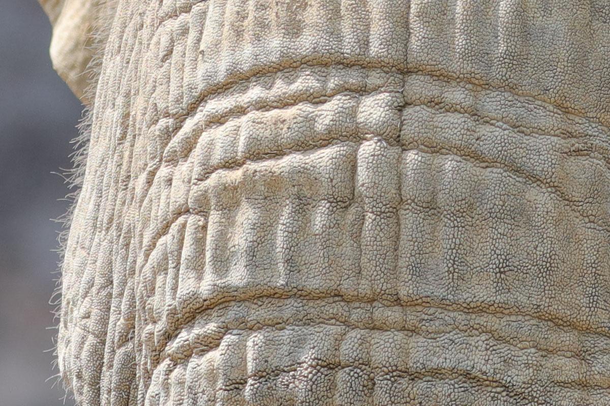 「EF100-400mm F4.5-5.6L IS II USM」で撮影。象の肌の細部まで見えてしまい、少しゾワゾワしますネ。