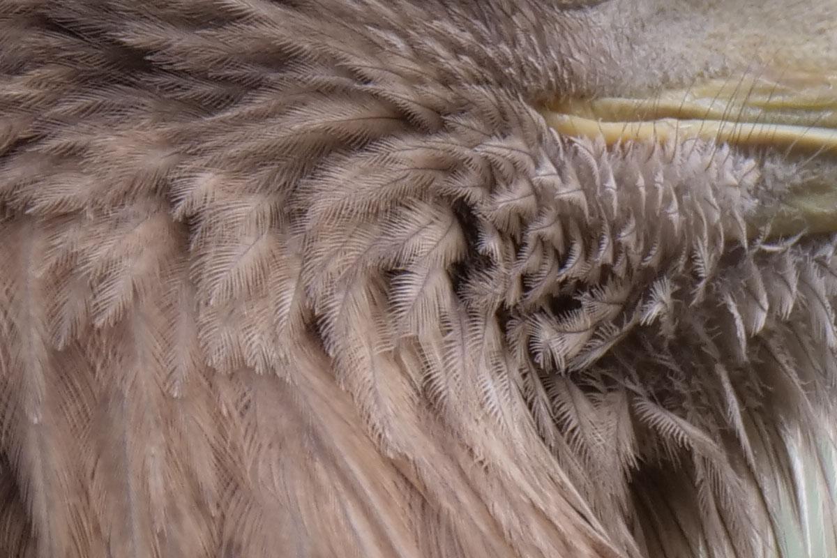 上のシロフクロウの写真やこのイヌワシの写真は、被写体が網の中なので、その分ちょっと描写が甘いというかネムい感じです。でも、ディテイルが克明に描写されました。