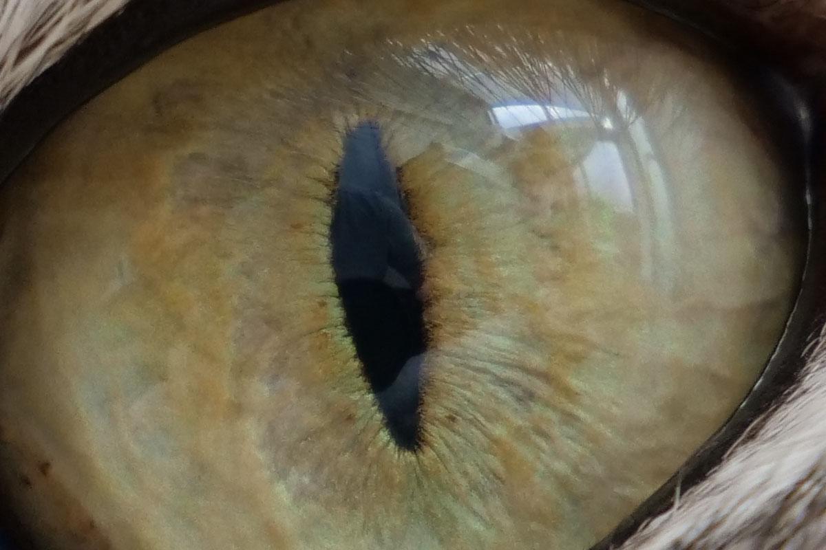 目にピントを合わせましたが……眼球の表面にピントが合ったようです。虹彩が締まって瞳孔が縦になるシクミが何となくわかります♪