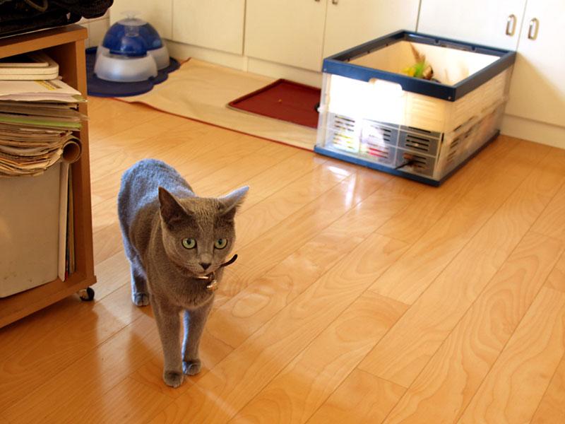猫は、電話の着信音が鳴ると、一瞬猫側の動作を停止する。が、その後は通常動作モードに復帰する。