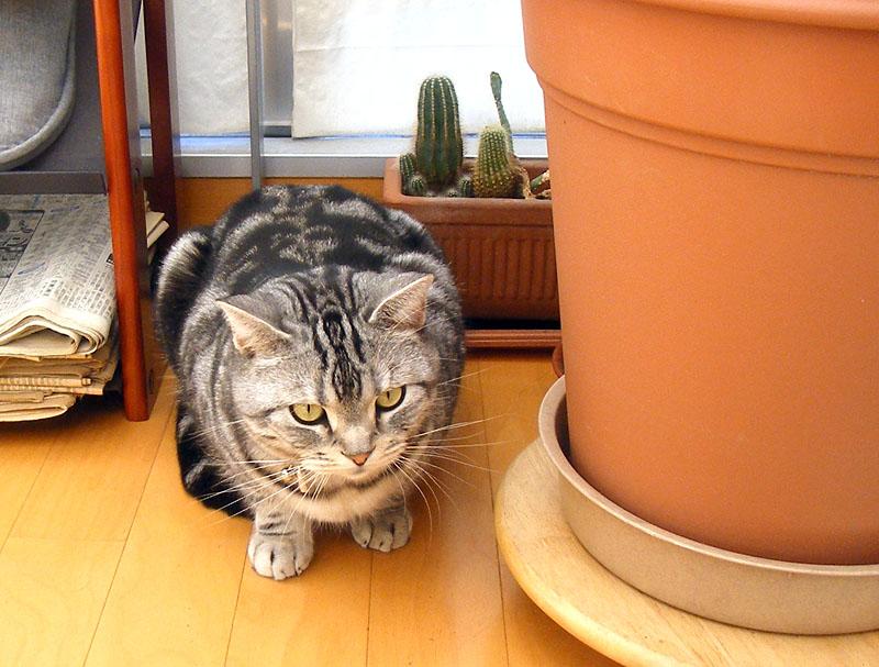 サボテンには一切手を出さない(し足も出さないし口も鼻も何も出さない)拙宅猫様。猫様は、幼少期以外は実にノープロブレムな動物だ、が、幼少期のカワイサは最強であったりする。