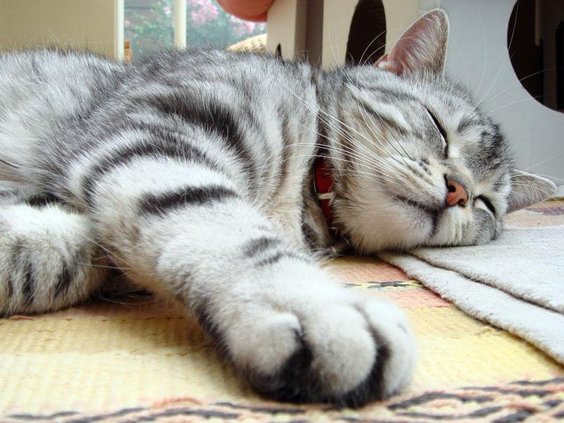 オウチの中ではこのようにリラックスしまくりの拙宅猫とろ様。しかしクルマに乗せると過呼吸でありニャーニャー騒ぐのであって外出が超スペシャルマグナムウルトラ嫌いな猫ちゃんなんダ!!