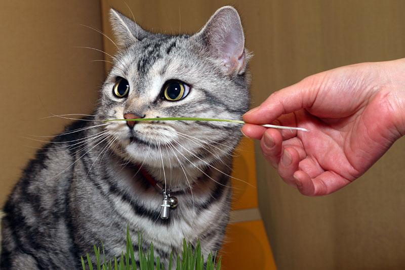 (1)ニャんか猫草の予感!! まずは猫草を一本、鼻先に突き出すのだ。