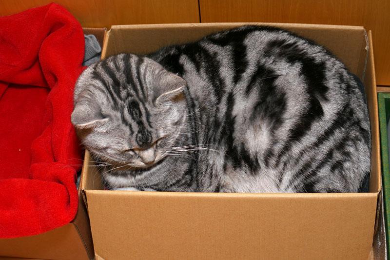 狭めの猫箱で熟睡中のとろ様。左側には広めでありかつ暖かなフリースを敷いた猫箱があるが、本日は不快そうなこの猫箱をお選びである。