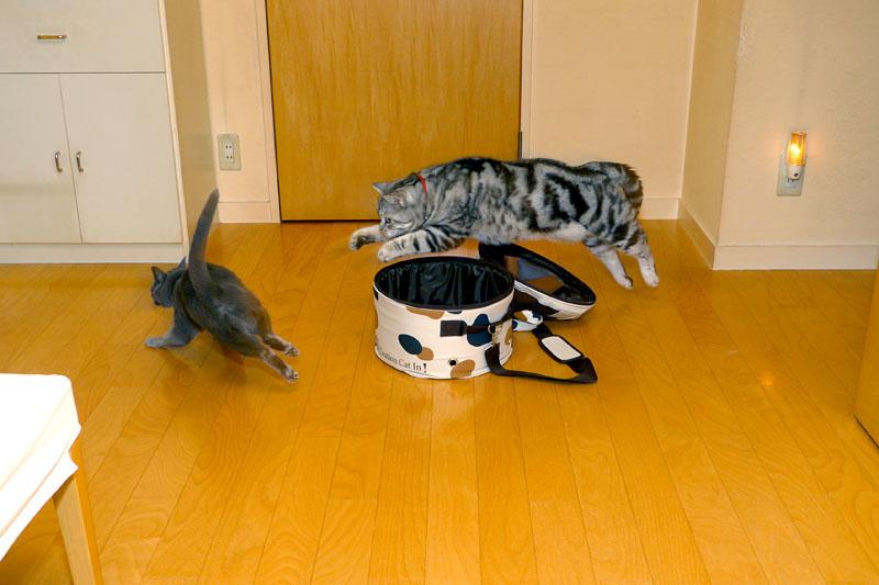 (2)……来たーッ!! ニギャッ!! ニャニャニャッ!! シャカシャカシャカシャカ(←床を爪で掻く音)!! ドドドドド(←走る音)!! みたいな