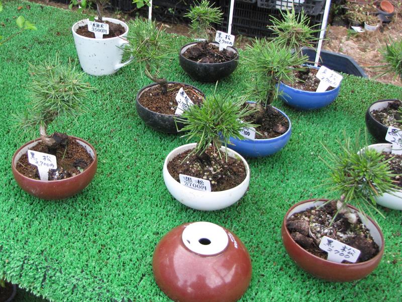 10万円を越える高級盆栽だけでなく、数千円で買える小型盆栽も陳列