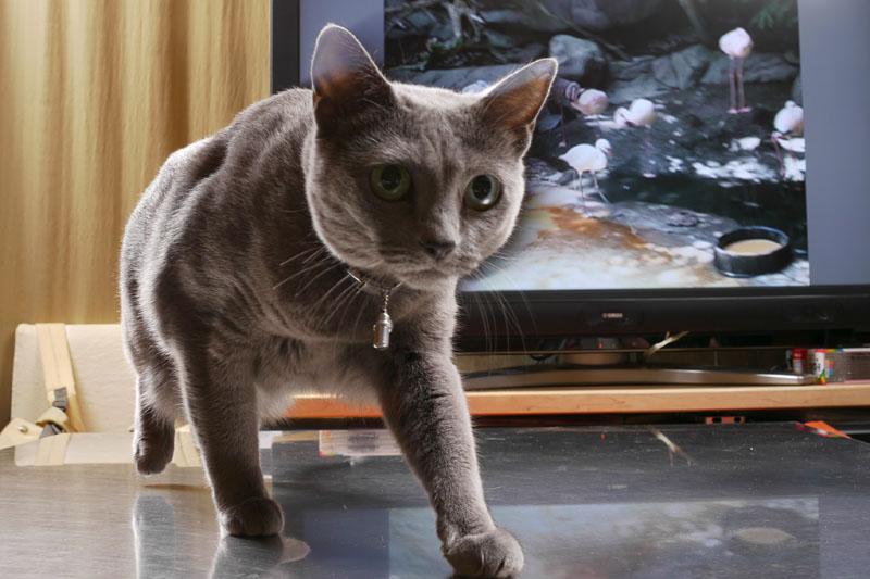 猫がテレビ(猫用DVD映像)を観ているという状況を撮影中、うか様は異変を感じてウロウロしちゃうんであった。カメラに激接近しちゃうパターンがありがち