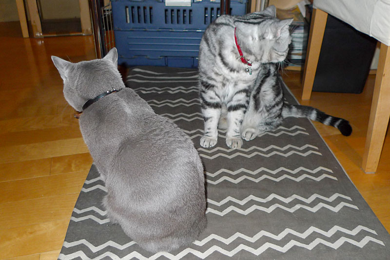 うかちゃんはキャップを机から落として遊びたいニャ。ぼくはキャップを落としてシーバと猫草を食べて寝たい。ニャ。ニャ。みたいな。