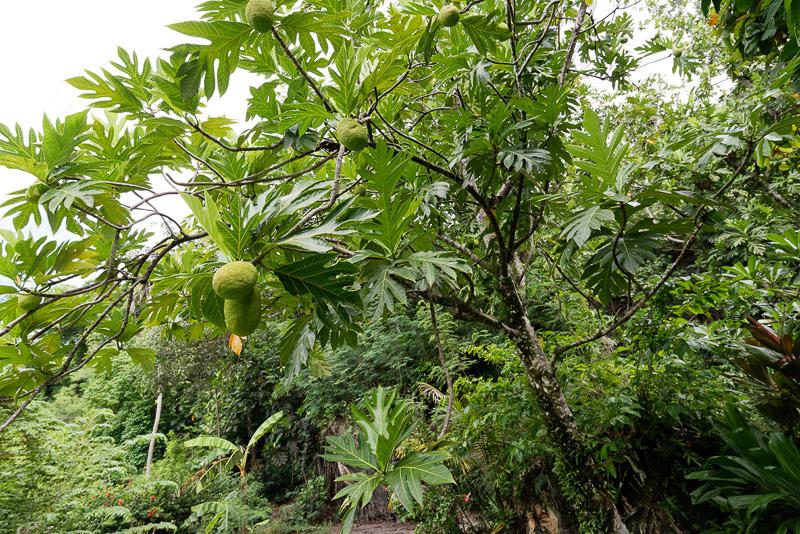 1つ1つが大きいパンの実。このような個性的なフルーツが停泊地内に植樹されている