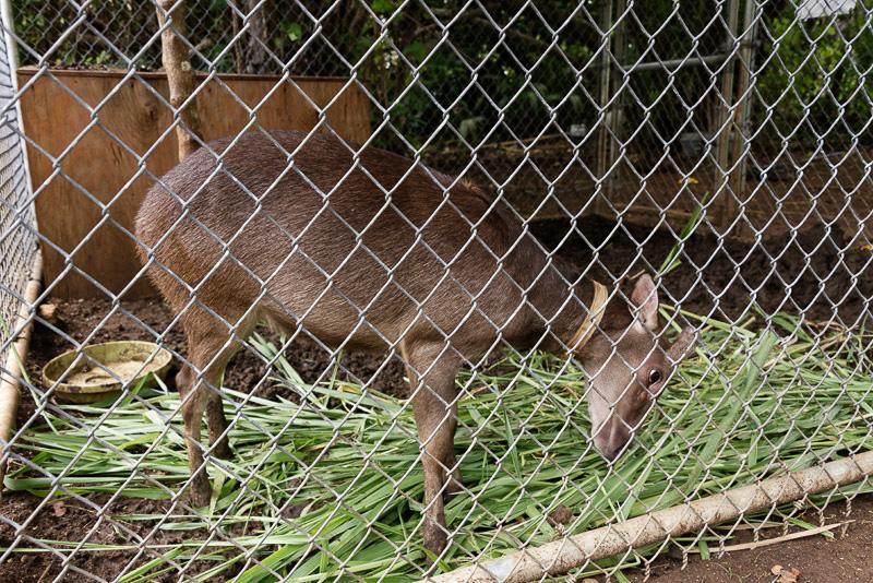 2つ目の停泊地から歩いて1、2分の近場にあるミニ動物園。最初に出会ったのはグアム鹿