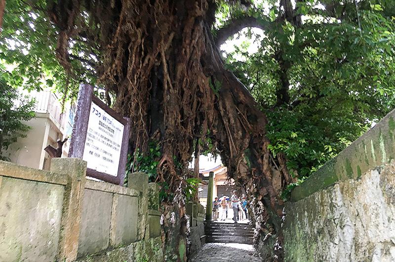 樹の根っこは二股に分かれており、通り抜けができる