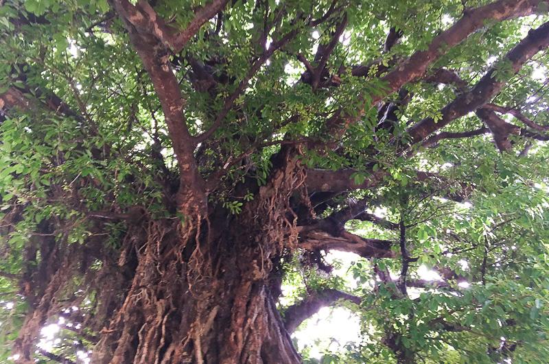 数多くの幹と気根が伸びる樹の姿はこの世のものとは思えない雰囲気