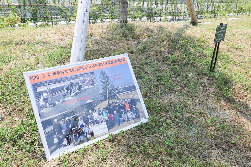 地元小学生が植樹したドイツトウヒ