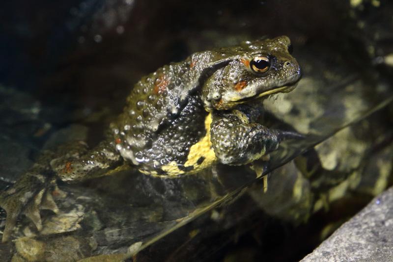 日本全国に分布するウシガエルも実は外来種です