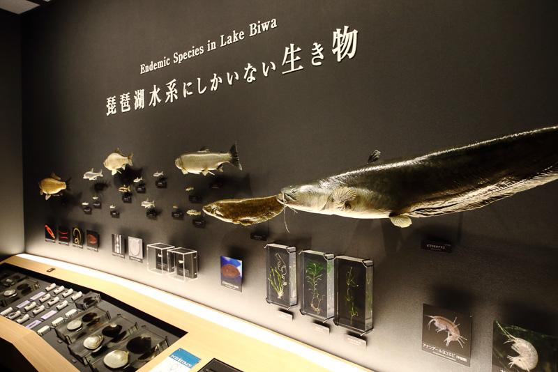琵琶湖水系の生き物にこだわる展示