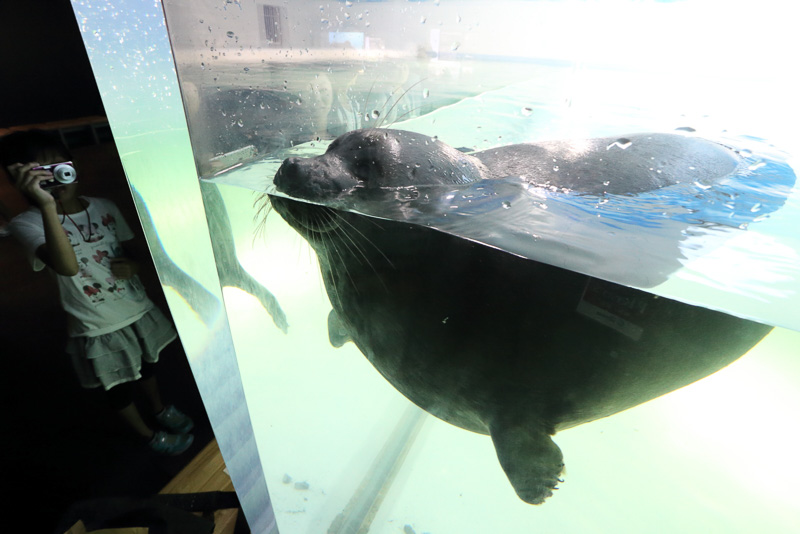 淡水で生息する唯一のアザラシ、バイカルアザラシは今春ここへやってきたそうです