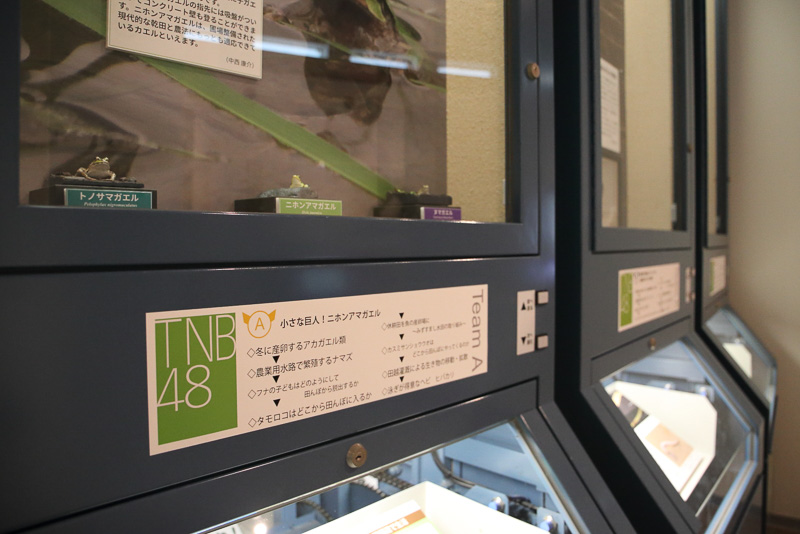 田んぼの世界の展示。ニホンアマガエルはTNB48 Team A!