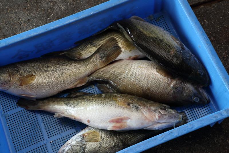 外来魚ブラックバスは捕獲されると専用バケツに回収されます