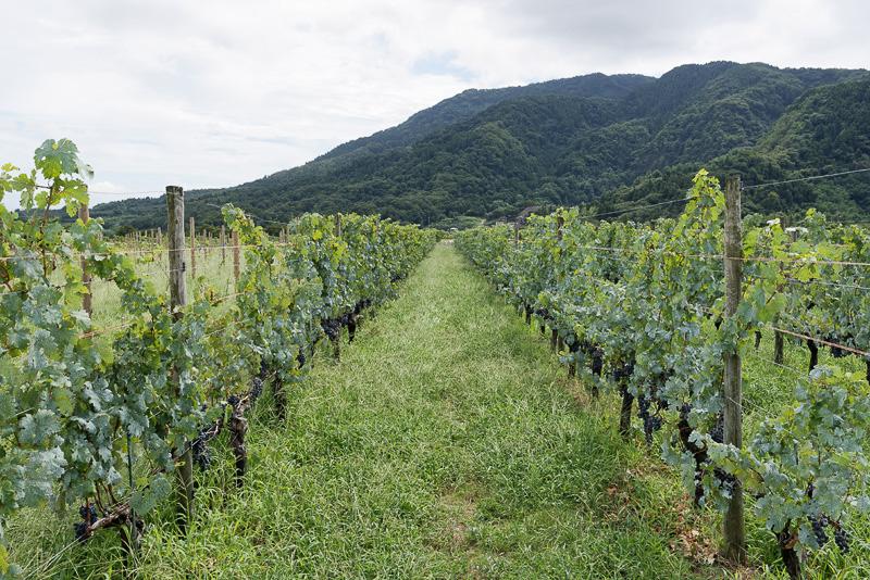 カベルネソーヴィニヨンが植えられたブドウ畑