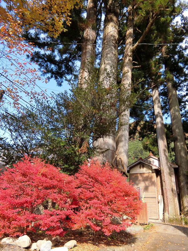 三本杉と紅葉
