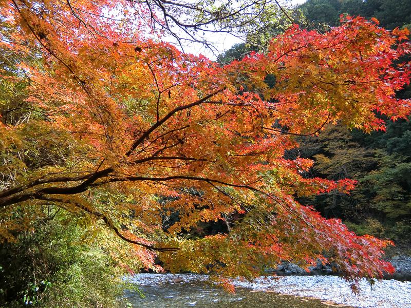 川沿いで色づく紅葉
